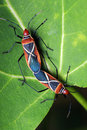 Shield Bugs (Dysdercus philippinus) Mating Royalty Free Stock Image