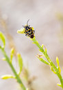 Shieldbug on plant Royalty Free Stock Photo