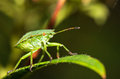 Shieldbug side Stock Photos