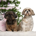 Shih Tzu, 7 years old, Shih Tzu, 10 years old Stock Photo