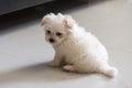 Shih tzu breed tiny dog playfulness loveliness Royalty Free Stock Photography