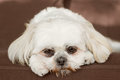Shih tzu on couch pure white dog looking sad bored lonely sick depressed unwanted unloved or ashamed Stock Image