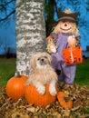 Shih Tzu Dog in autumn Halloween pumpkin Stock Image
