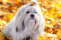 Shih tzu dog autumn portrait Stock Images