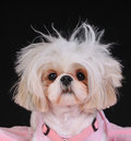 Shih Tzu Dog Bad Hair Day Royalty Free Stock Photos