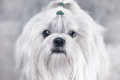 Shih tzu dog bright white colors Stock Images