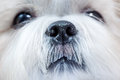 Shih tzu dog close up portrait Stock Photos