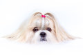 Shih tzu dog close up portrait Stock Image