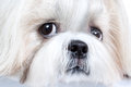 Shih tzu dog close up portrait Royalty Free Stock Photography