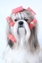 Shih tzu dog with curlers Stock Images