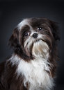 Shih tzu dog in front of a black background Stock Photo