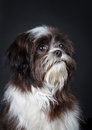 Shih tzu dog in front of a black background Stock Images