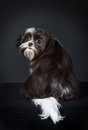 Shih tzu dog in front of a black background Royalty Free Stock Image