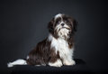 Shih tzu dog in front of a black background Stock Photography