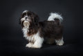 Shih tzu dog in front of a black background Royalty Free Stock Photos