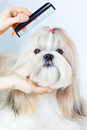 Shih tzu dog grooming with comb Royalty Free Stock Photo