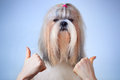 Shih tzu dog handsign Royalty Free Stock Photos