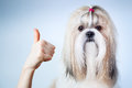 Shih tzu dog handsign on blue and white background Stock Images