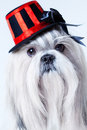 Shih tzu dog in hat portrait Stock Images