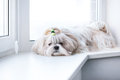 Shih tzu dog lying by windows Royalty Free Stock Photo
