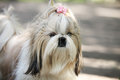 Shih tzu dog portrait outdoor close up Stock Images