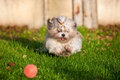 Shih tzu dog running Stock Images