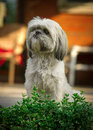 Shih tzu dog sitting at attention a small white sits with focused behind the leaves of a green bush Stock Photos