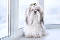 Shih tzu dog sitting by windows Stock Photo