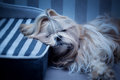 Shih tzu dog sleeping Royalty Free Stock Images