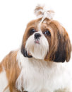 Shih tzu dog in studio on a white background Royalty Free Stock Photos