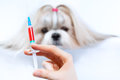Shih tzu dog treatment and medical syringe focus on hand Stock Photos