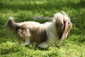 Shih tzu dog walking in the park Stock Images