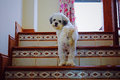 Shih Tzu dog walking up the stairs Royalty Free Stock Photo
