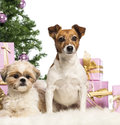 Shih Tzu and Jack Russell Terrier sitting Royalty Free Stock Image