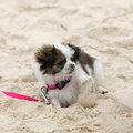 Shih Tzu Maltese Puppy Royalty Free Stock Image