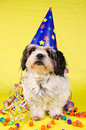 Shih Tzu Party Stock Photo