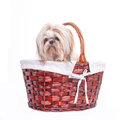 Shih tzu pretty young on a white background Stock Photography