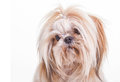 Shih tzu pretty young on a white background Stock Photo