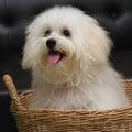 Shih tzu puppy breed tiny dog age month playfulness loveli loveliness Stock Image