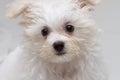 Shih tzu puppy breed tiny dog playfulness loveliness Royalty Free Stock Photo