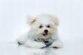 Shih tzu puppy breed tiny dog playfulness loveliness Royalty Free Stock Photography