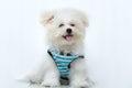 Shih tzu puppy breed tiny dog playfulness loveliness Royalty Free Stock Image