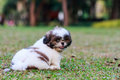 Shih Tzu puppy sitting on green grass Royalty Free Stock Photos