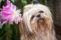 Shih tzu young in the garden Stock Photo
