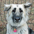 Shiloh Shepherd Royalty Free Stock Image