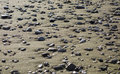 Shingle rocks pebble on the shore scattered pebbles wet beach of Stock Photo