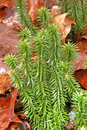 Shining fir clubmoss huperzia lycopodium lucidula columbia co ny Stock Photo