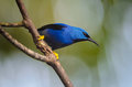 Shining Honeycreeper Royalty Free Stock Photo