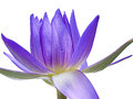 A shining lotus beautiful purple bloom on white isolation Royalty Free Stock Photography