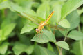 Shinny gold dragon fly Royalty Free Stock Photo